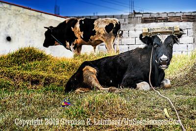 How Now Black Cow Copyright 2020 Steve Leimberg UnSeenImages Com _DSC0734