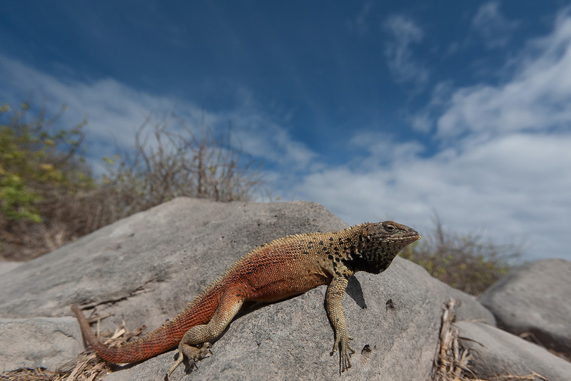 Given this is taken at 16mm focal length, and the lizards are no more than 6 inches long, this gives an idea of how close one can approach the wildlife.