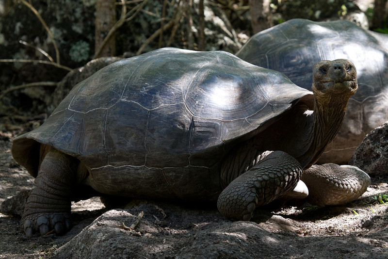 Our first stop was Punta Daylight on Isla Santa Maria to visit the giant tortoises in the wild.