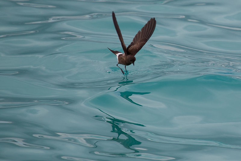 The name petrel derives from Peter, with reference to Saint Peter walking across the water's surface.