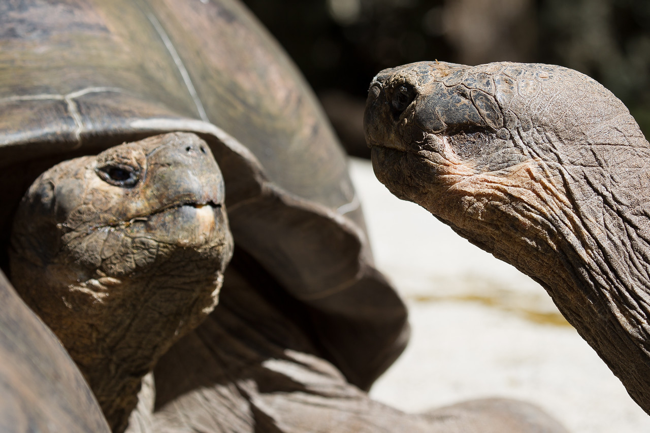 Whichever tortoise raises his head higher wins the fight. Looks clear who's the boss.