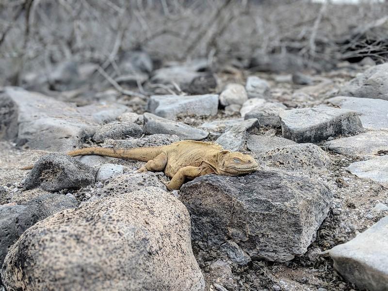 Galapagos Islands Trip - Iguana resting