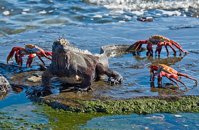 Marine iguana, Amblyrhynchus cristatus, and Sally Lightfoot crabs