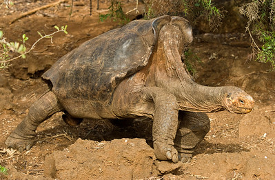 "Española giant tortoise, Chelonoidis (Geochelone) nigra (elaphantopis) hoodensis This is ""Super Diego"""