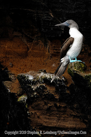 Blue-footed Booby Copyright 2019 Steve Leimberg UnSeenImages Com _DSC1786