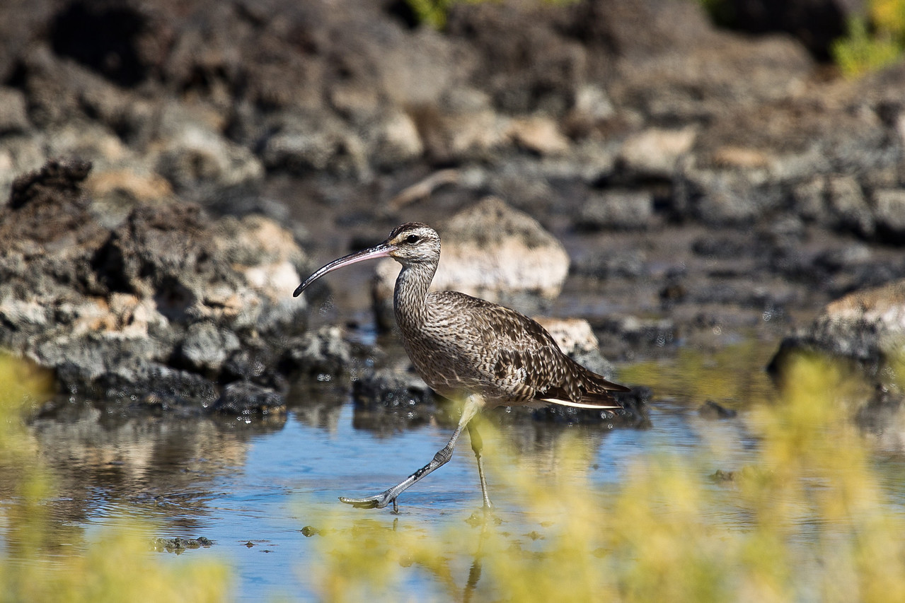 It was evening, and the whimbrel was busily probing through the mud for tiny invertebrates.