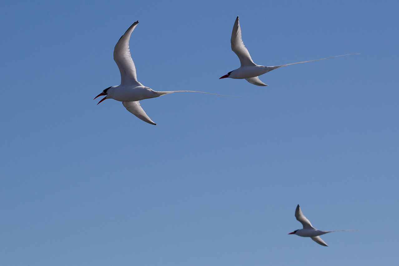 The tropicbird formation.