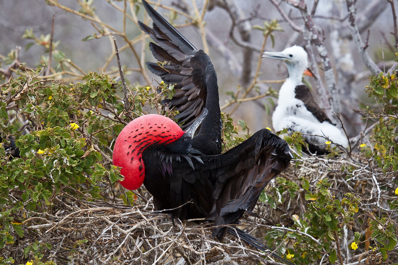 The frigatebird chick grows so slowly that the duration of parental care is the longest of any bird.