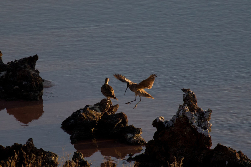 Love the way this whimbrel is surfing the sunset rays to home.