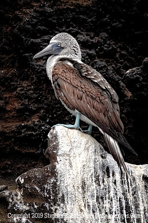 Blue-footed Booby Copyright 2019 Steve Leimberg UnSeenImages Com _DSC1649
