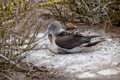 Blue Footed Boobies-Pair with chick and egg
