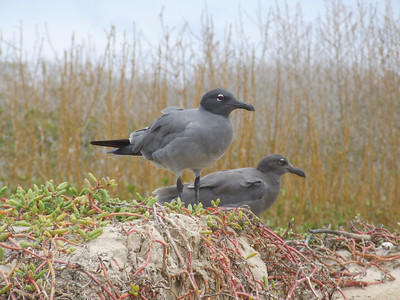 A pair of lava gulls