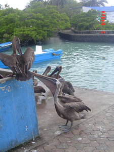 Pelican feeding frenzy!