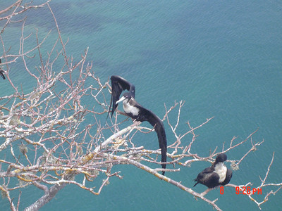 Only female frigatebirds.