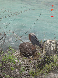 Pelican hatching eggs.  One is ready to hatch.