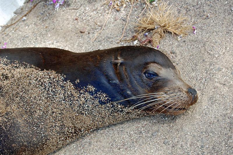 Sea Lion, San Cristobal