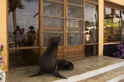 Sealion at local house Puerto Baquerizo Moreno, San Cristobal Island, GALAPAGOS, ECUADOR