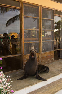 Sealion at local house Puerto Baquerizo Moreno, San Cristobal Island, GALAPAGOS, ECUADOR