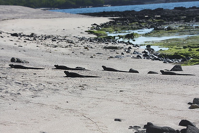 Marine iguanas basking on the beach