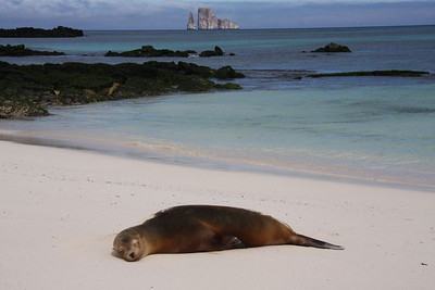 Sealion on the beach, with Lion Rock in the distance