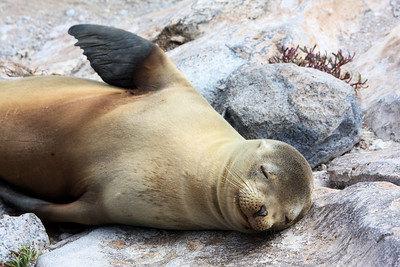 Relaxed sealion