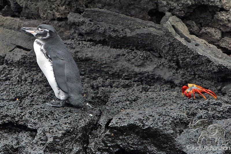 Galapagos Penguin & Sally Lightfoot Crab at Bartolome Island