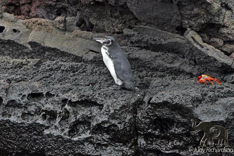 Galapagos Penguin at Bartolome Island
