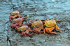 5 Sally Lightfoot Crabs at Bartolome Island