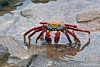 Sally Lightfoot Crab on Bartolome Island