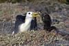 Waved Albatross Chick trying to feed from adult on Española Island~Galapagos, Ecuador