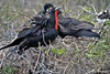 Frigatebirds on North Seymour Island~Galapagos, Ecuador
