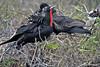 Frigatebirds on North Seymour Island~Galapagos, Ecuador