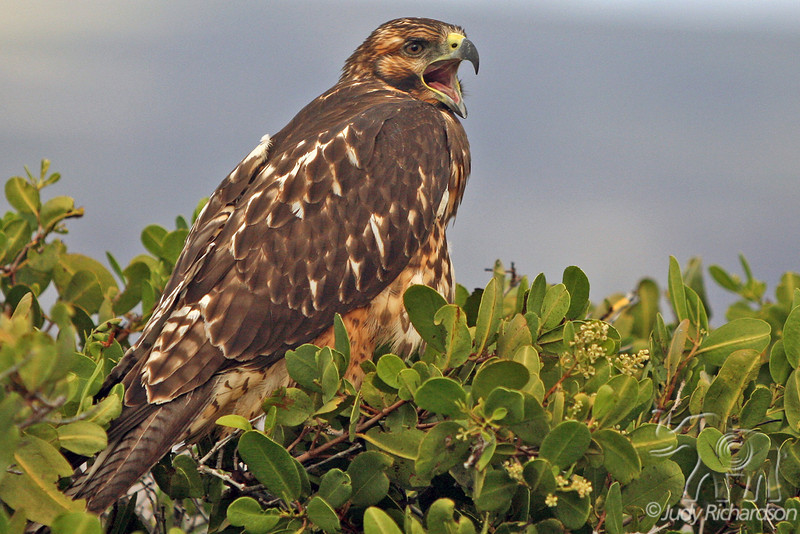 Galapagos Hawk on Fernandina Island~Galapagos, Ecuador