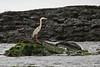 Great Blue Heron on Floreana Island~Galapagos, Ecuador