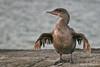 Flightless Cormorant on Fernandina Island~Galapagos, Ecuador