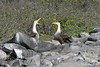Waved Albatross mating ritual of billing and calling on Española Island~Galapagos, Ecuador