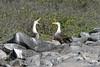 Waved Albatross mating ritual of billing and calling on Española Island~Galapagos, Ecuador