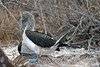 Blue-footed Booby performing mating dance on North Seymour Island~Galapagos, Ecuador