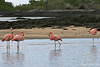 Greater Flamingos on Floreana Island~Galapagos, Ecuador