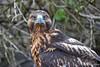 Galapagos Hawk staring on Española Island~Galapagos, Ecuador