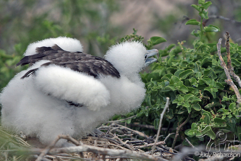 Frigatebird Chick on North Seymour Island~Galapagos, Ecuador