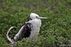Frigatebird Juvenile on North Seymour Island~Galapagos, Ecuador
