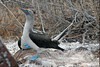 Blue-footed Booby dancing proudly in front of mate on North Seymour Island~Galapagos, Ecuador