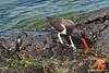 American Oystercatcher in tidal pool on Santiago Island~Galapagos, Ecuador