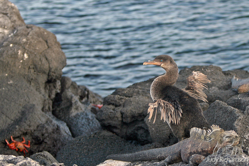 Flightless Cormorant with other life on Fernandina Island~Galapagos, Ecuador