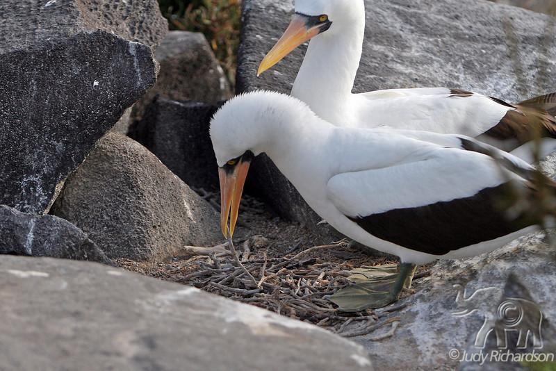 Nazca Booby male buiding nest to impress female on Española Island~Galapagos, Ecuador