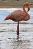 Greater Flamingo close up on Floreana Island~Galapagos, Ecuador