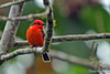 Vermilion Flycatcher in highlands on Santa Cruz Island~