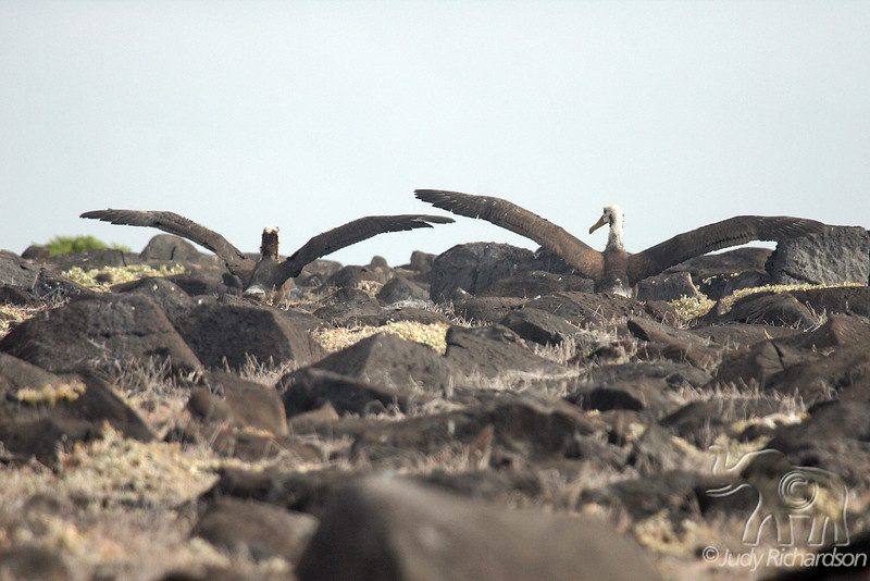 Waved Albatross ready to take off on cliff on Española Island~Galapagos, Ecuador