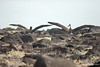 Waved Albatross ready to take off on cliff on Española Island~Galapagos, Ecuador